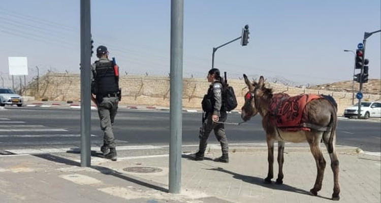 القوات الاسرائيلية تعتقل حمارا