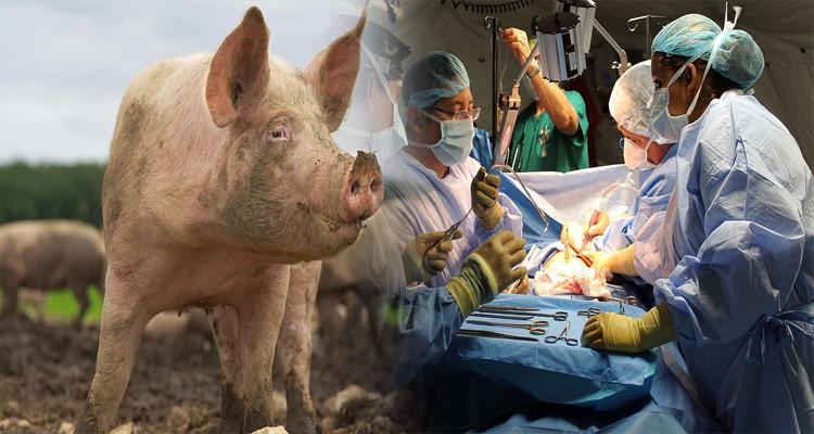 Première transplantation d'un rein de cochon sur un humain