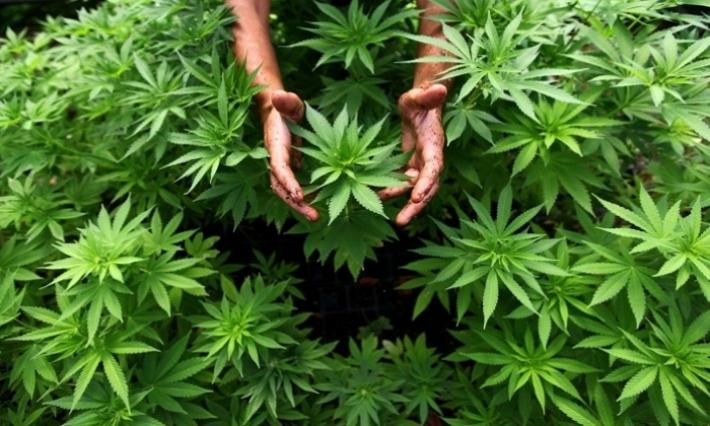 الهيئة الدولية لمكافحة المخدرات تحذر من الافراط في زراعة الماريخوانا