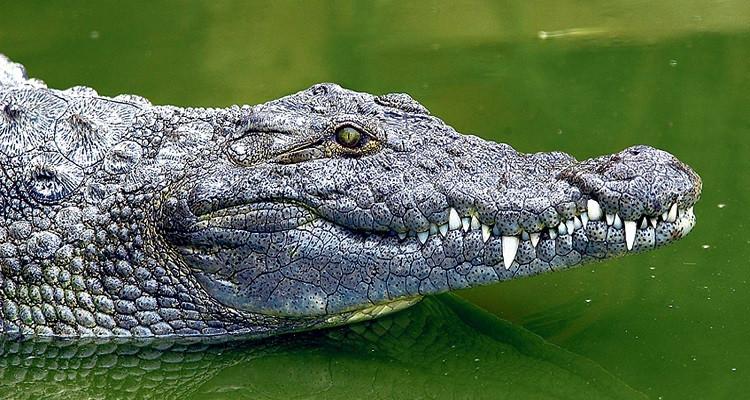 نفوق تمساح