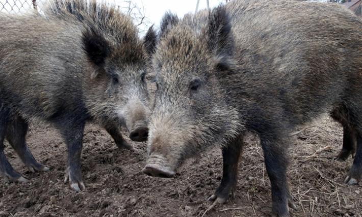 القيروان-الوسلاتية: قطيع من الخنازير يحيل 3 أعوان أمن على المستشفى